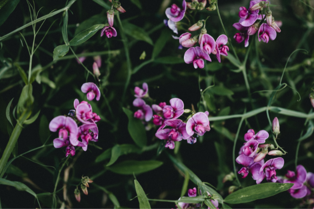 Your Guide To Growing Sweet Peas